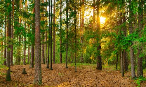 Pineforest 500 x 300
