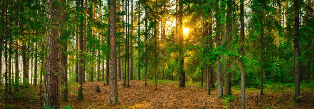 Pineforest banner